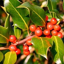 TEN plants Ilex cornuta 'Needlepoint' Holly - $56.43