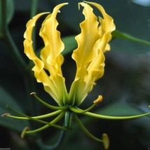 10 Gloriosa Lily Lutea Seeds-Yollow/Gold-,Flame Lily a.K.a glory lily, f... - $2.93