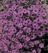 50 Seeds Brachycome Bravo Series Violet Black Eye Annual - $19.68