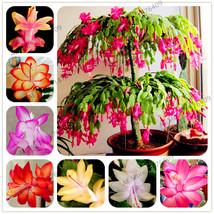 Schlumbergera Seeds Christmas Cactus Seeds Flower Seeds Easy Plant 10- 2... - $4.76+