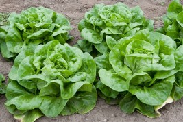 Lettuce Seeds - Butterhead - Buttercrunch - Outdoor Living - GardenFree Shippin - $27.99+