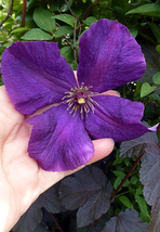 "Live Plant - Clematis Polish Spirit Vine - Rich Purple - Blue - 2.5"" Pot... - $57.00"