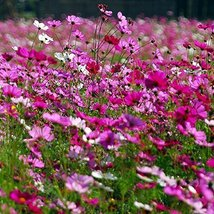 5 Pound Seeds of Cosmos - $221.66