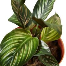 "Live Plant - Calathea 'Beauty Star' - 4"" Pot - Houseplant - Outdoor Living - $55.99"