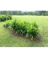 Pandan Pandanus amaryllifolius Spice Garden Live Edible Plant - $59.99