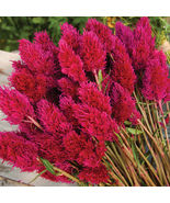 Eternity Improved Celosia Seed /  Celosia Flower Seeds - $12.00