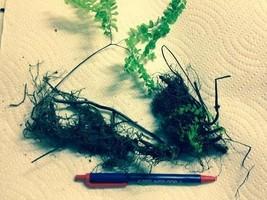 LADY FERNS 10 rhizomes - (Athyriun Filix-Femina ) image 2