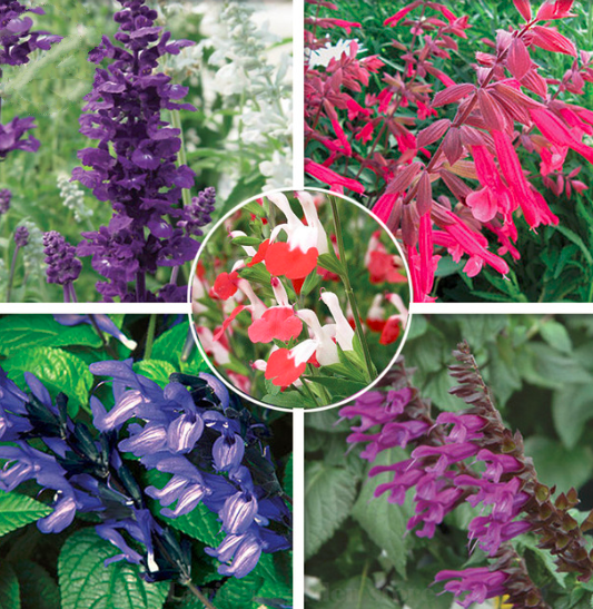 20pcs Very Excellent Mixed 5 Typed of Salvia with Tubular Flowers Seeds IMA1 - $14.99