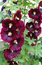 50 Burgundy Hollyhocks Flower Seeds - $3.99