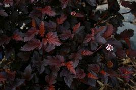 Crimson Diablo Ninebark Shrub image 6