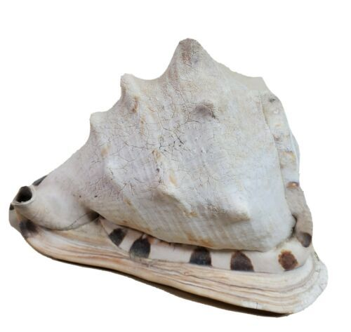 Primary image for Large Conch Shell Helmet Nautical Beach Decor Intact Distressed 8 3/8""