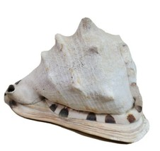 "Large Conch Shell Helmet Nautical Beach Decor Intact Distressed 8 3/8""  - $58.79"