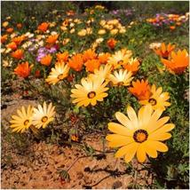 40 Seeds African Daisy Mix Flower Annual - $16.65
