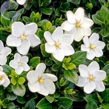 20 Seed Gardenia Jasminoides Cape Jasmine Heirloom Seeds, DIY Beautiful ... - $6.99