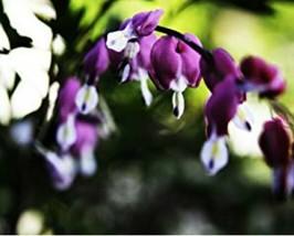 50 Dark Purple Bleeding Heart Seeds DicentraSpectabilis Shade Flower - TTS - $29.95