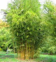 200 seeds Bambusa Oldhamii Yellow cain bamboo USA Seller - $31.98