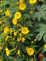 20 seeds~Wood Rose Vine- Merremia Tuberosa Yellow Flower Morning  Glory   - $8.99