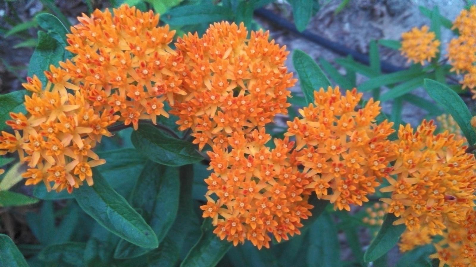 Butterflyweed 2013