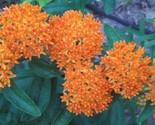 Butterflyweed 2013 thumb155 crop