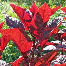 3000 Amaranth Seeds,Red Leaf Callaloo,Chinese Spinach,for Growing Or Spr... - $14.99