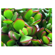 Jade Live Plant -Crassula ovuta - Easy to Grow - growing House plant in ... - $14.74