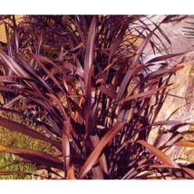 New Zealand Flax Purple Phormium Tenax Purpureum 50 Seeds #OVM06 - $40.17