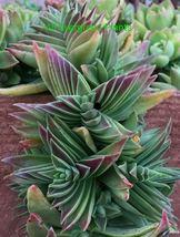 Beautiful Crassula Capitella Subsp Thyrsiflora Succulent Cactus Cacti Plant - $30.23
