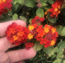 """Radiation Red Orange Trailing Lantana montevidensis In 4"""" Pot - $6.88"""