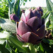 30Pcs Artichoke Purple Romagna Vegetable Seeds Cynara Scolymus Seed - $20.54