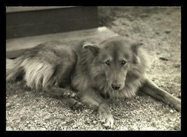 Collie Dog Photograph 1940 B/W 7x5 Thin Paper Beautiful Face Pet Animal - $12.99