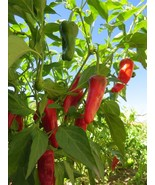 Chimayo Native Chile -  the standard for New Mexican chile - $5.00