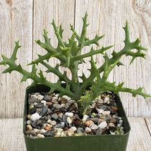Euphorbia stenoclada Cactus Cacti Succulent Real Live Plant Green Garden... - $32.27