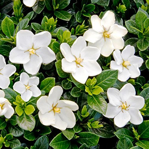 Primary image for White Fragrant Flowers Gardenia Kleims Hardy FIVE plants
