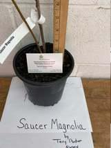 Saucer Magnolia Soulangeana gallon pot image 5