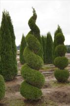 "EMERALD GREEN Arborvitae 3"" pot (Thuja occidentalis) image 5"