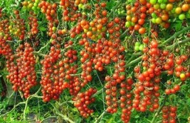 Red Cherry Tomato! 20 Seeds! OVER 200 KINDS OF TOMATOES IN OUR STORE! CO... - $15.48