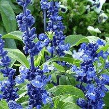 200 Seeds - Blue Sage Wildflower - $4.99