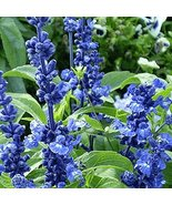 200 Seeds - Blue Sage Wildflower - $7.99