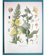 ORANGE MULLEIN Medicinal Verbascum Phlomoides - Beautiful COLOR Botanica... - $26.01
