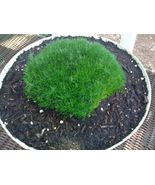 50 Pcs Irish Moss Seeds #MNSF - $14.00