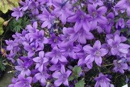 Mauve Bloom Green Foliage Campanula Portenschlagiana Bellflower Bluish P... - $25.99
