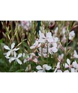 50+ Seeds Gaura lindheimeri flowers - $9.90