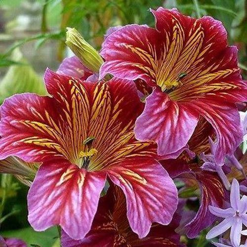 Primary image for Painted Tongue Velvet Dolly Mix Flower Seeds (Salpiglossis Sinuata) 400+Seeds