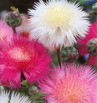 SHIPPED FROM US 480 Sweet Sultan Centaurea Moshata Fragrant Flower Seeds... - $17.00