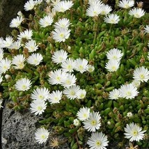 SHIP FROM US 400 Ice Plant White Flower Seeds (Dorotheanthus), UTS04 - $19.98