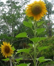 SHIP FROM US 1 Ounce Seeds Mammoth Giant Sunflower,DIY Plant Seeds RM - $16.99