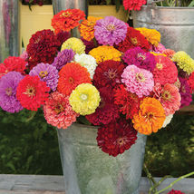 Benary's Giant Mix Zinnia Seed, Zinnia Flower Seeds - $21.00