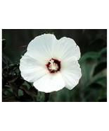 SHIP FROM US 25 LUNA WHITE HARDY HIBISCUS Moscheutos Flower Small Seeds ... - $12.00