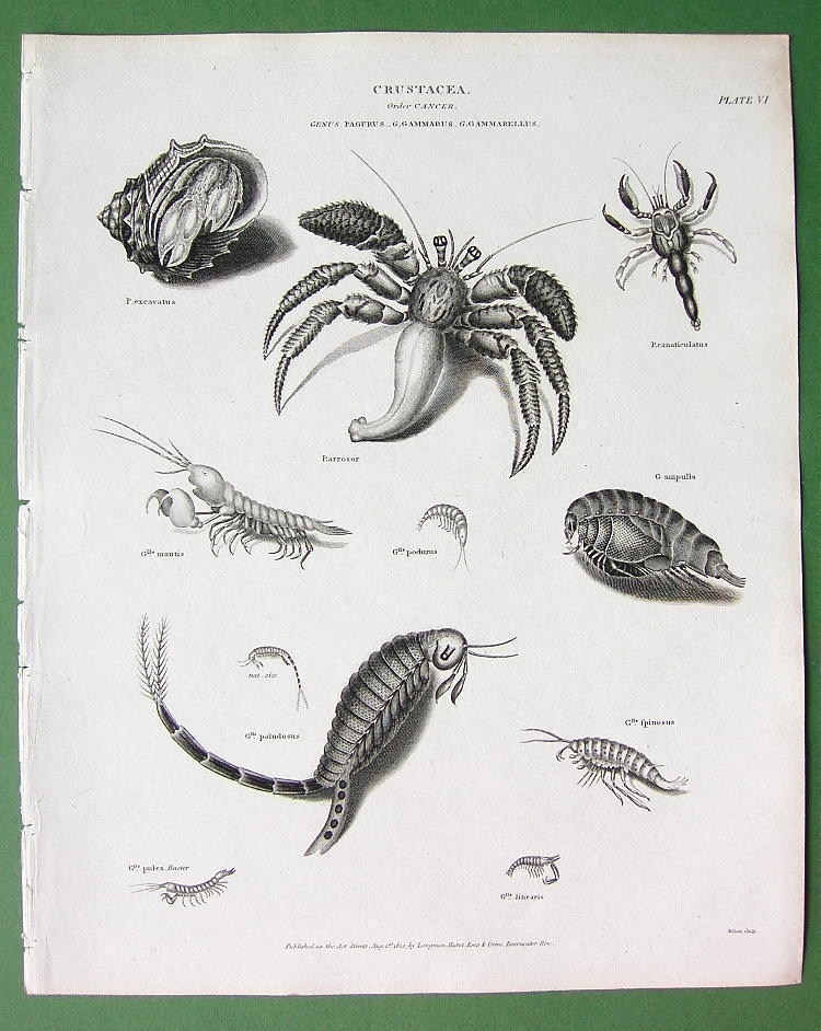 Primary image for CRUSTACEA Order Cancer Crab Shrimp - 1820 Antique Print Engraving