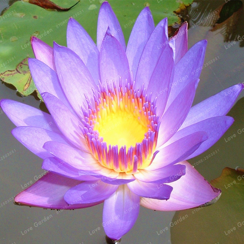 Aquatic Plants Flower Seeds Bowl Lotus Water Lilies Lotus Seeds 10 Pcs